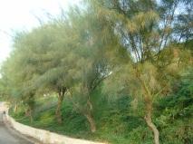 Jerusalem thorns (P. aculeta)