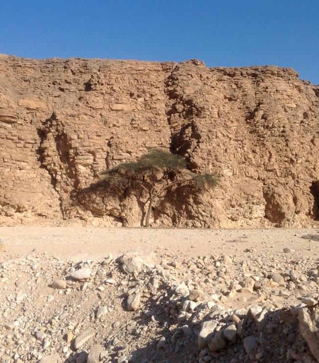 acacia cropped
