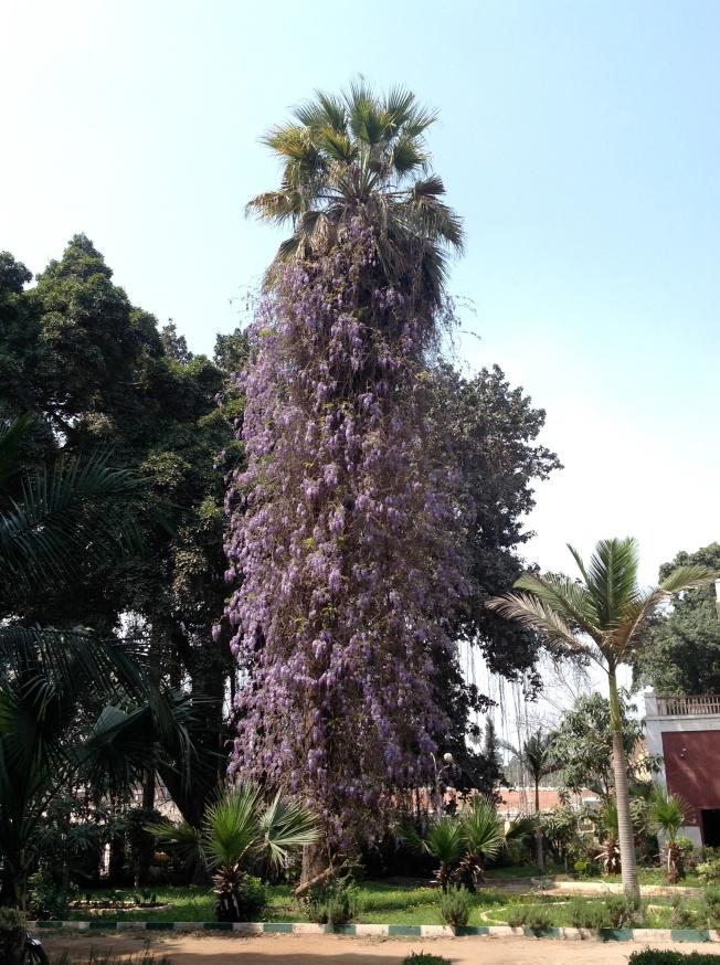 wisteria 1 crop