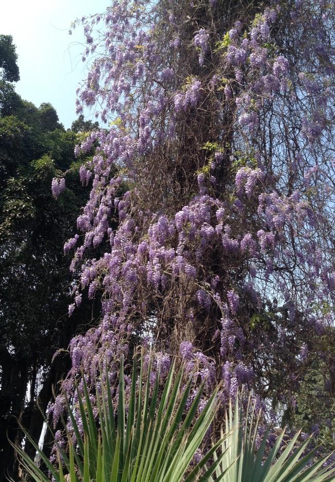 wisteria 2 crop