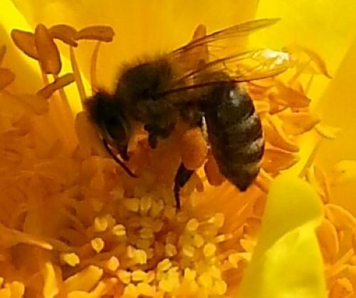 Bee gathering pollen 4:14 crop