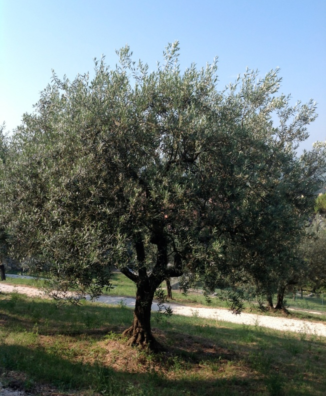 Olive tree Gubbio 7:13 crop