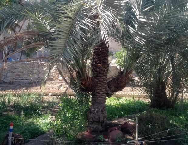 S Paul palm crop