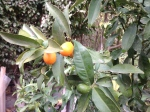 Like little jewels: kumquats Jan. 2106