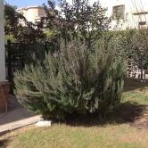 Rosemary pruned 2.16