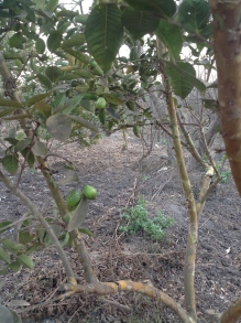 The guava crop; this is not the season, and these fruit will not be as sweet as the summer ones.
