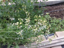 Perhaps the bees' second-favourite flower, the rocket (gargheya in Arabic) has fallen over sideways in a raised bed. But we can't remove it - they would never forgive us!