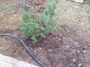 Rosemary transplanted 2.16
