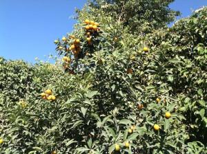 Kumquat crop 2.16