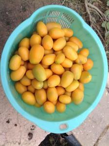 Kumquats harvested 3.16