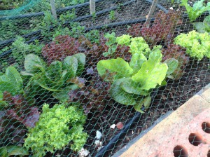 Among my favourites, the multi-coloured lettuces like little jewels
