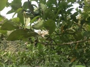 Lime blossom 3.16