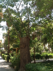 Trees will never be cowed, just look at this Elephants Ear tree from Brazil!