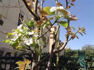 Pear 1 flowering 3.16