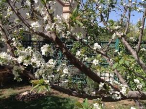 Plum blossom 3.16