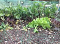 and beetroots too, with shallots in the foreground