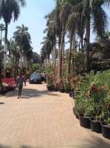 Avenue of royal palms 4.16