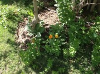 Calendula and baby borage from England among the mint