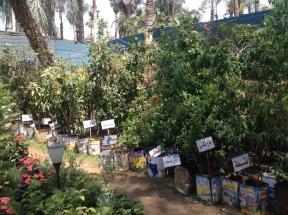 Fruit saplings 4.16