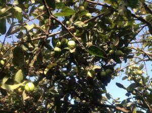 Guavas on tree