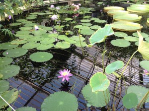 Lilies in flower, and lotus leaves (at right), at Kew Gardens in 2014