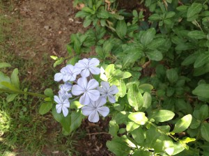 Plumbago capensis, originating in South Africa, in the Jasmine garden