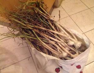 Qalyubiyya garlic 4.16