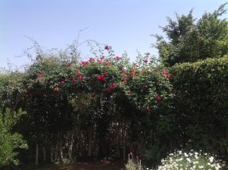 Rose on pergola 4.16