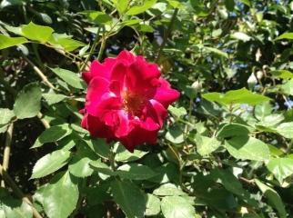 Rose on pergola close up 4.16