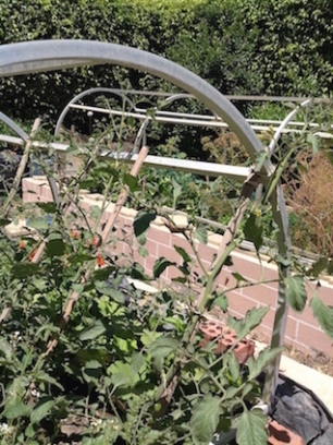 Tomatoes on frame 4.16