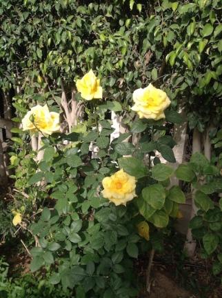 Yellow rose bush 4.16