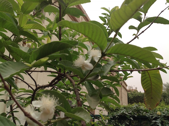 Guava in flower 5.16