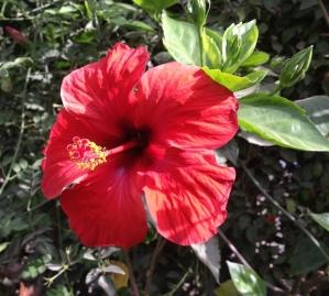 Hibiscus 5.16