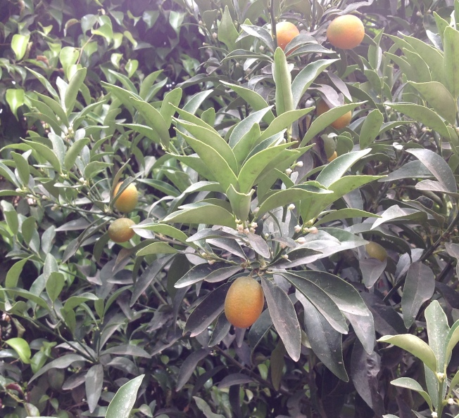 Kumquat in flower and fruit 5.16