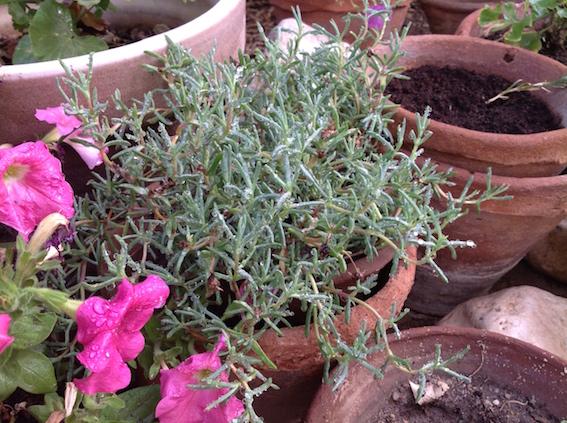 Lampranthus after irrigation  5.16