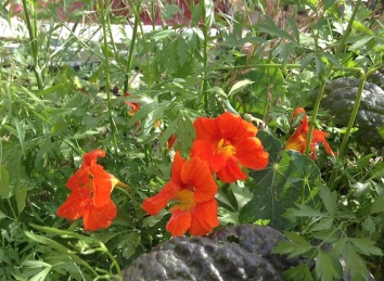 Self-seeded nasturtiums 5.16