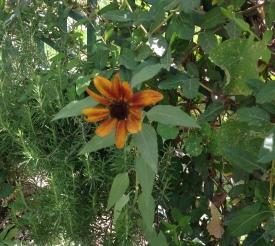 Sunflower. 5.16JPG