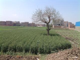 Wheat field 2014