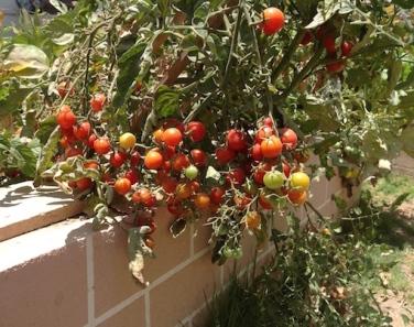 Cherry toms 6.16