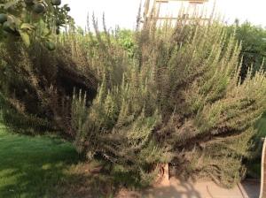 Rosemary 3   6.16