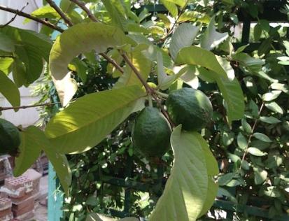 Green guavas 7.16