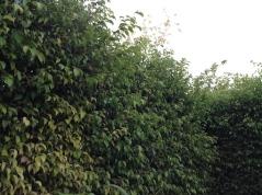 Hedge 2 7.16