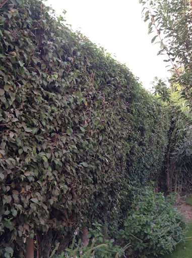 Hedge clipped 7.16