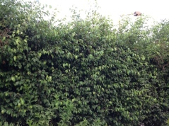 Hedge overgrown 7.16