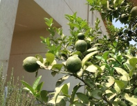 Lemons 2 7.16