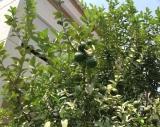 Lemons 7.16