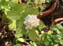 Arabian jasmine 8.16