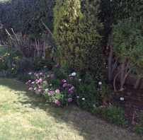 The middle border in spring, with Osteospermum ecklonis flowering at front edge