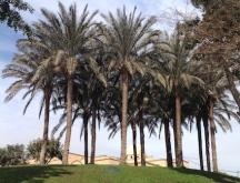 al-azhar-park-palms