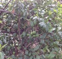 Bergamot: glorious fruit of a pretty ordinary tree!